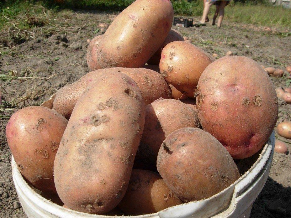 Описание сортов картофеля сорокодневки, выращивание, когда копать
