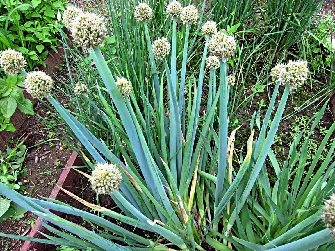 Цветок аллиум (дикий лук): фото растения, посадка и уход в открытом грунте