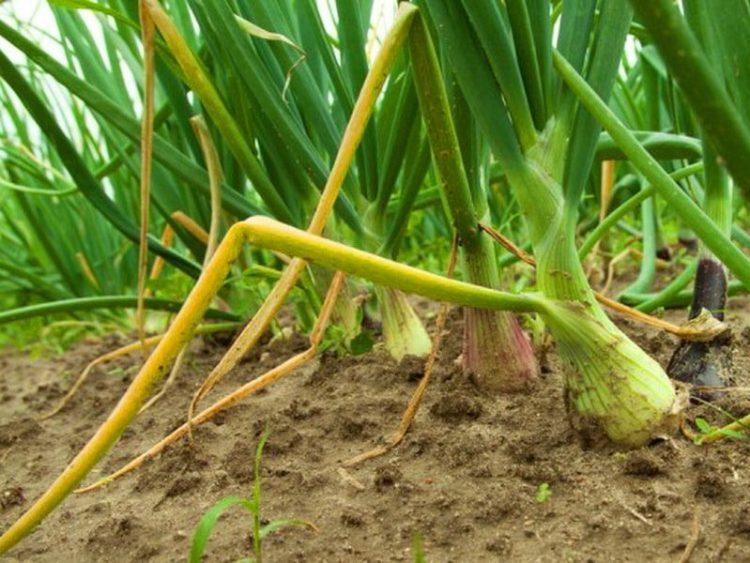 Подкормка лука на репку в открытом грунте