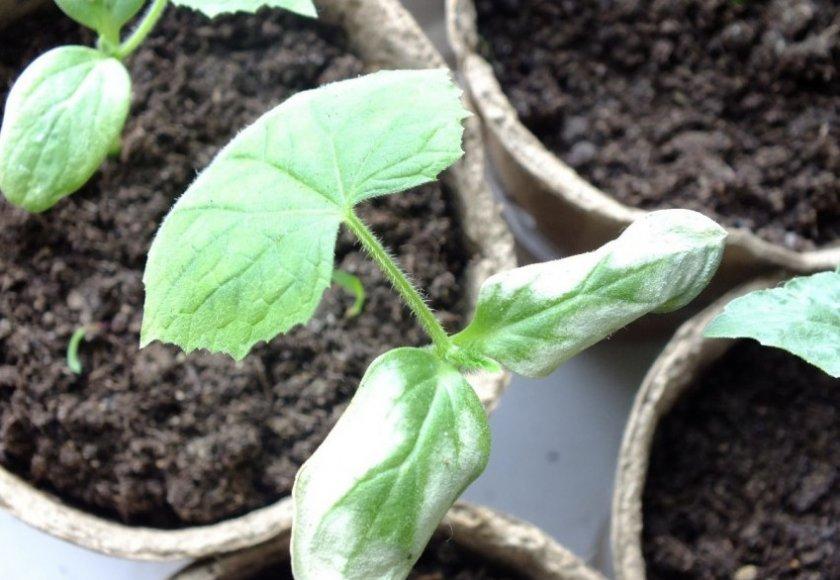 Рассада огурцов вытянулась: что делать с переросшими растениями, как посадить  