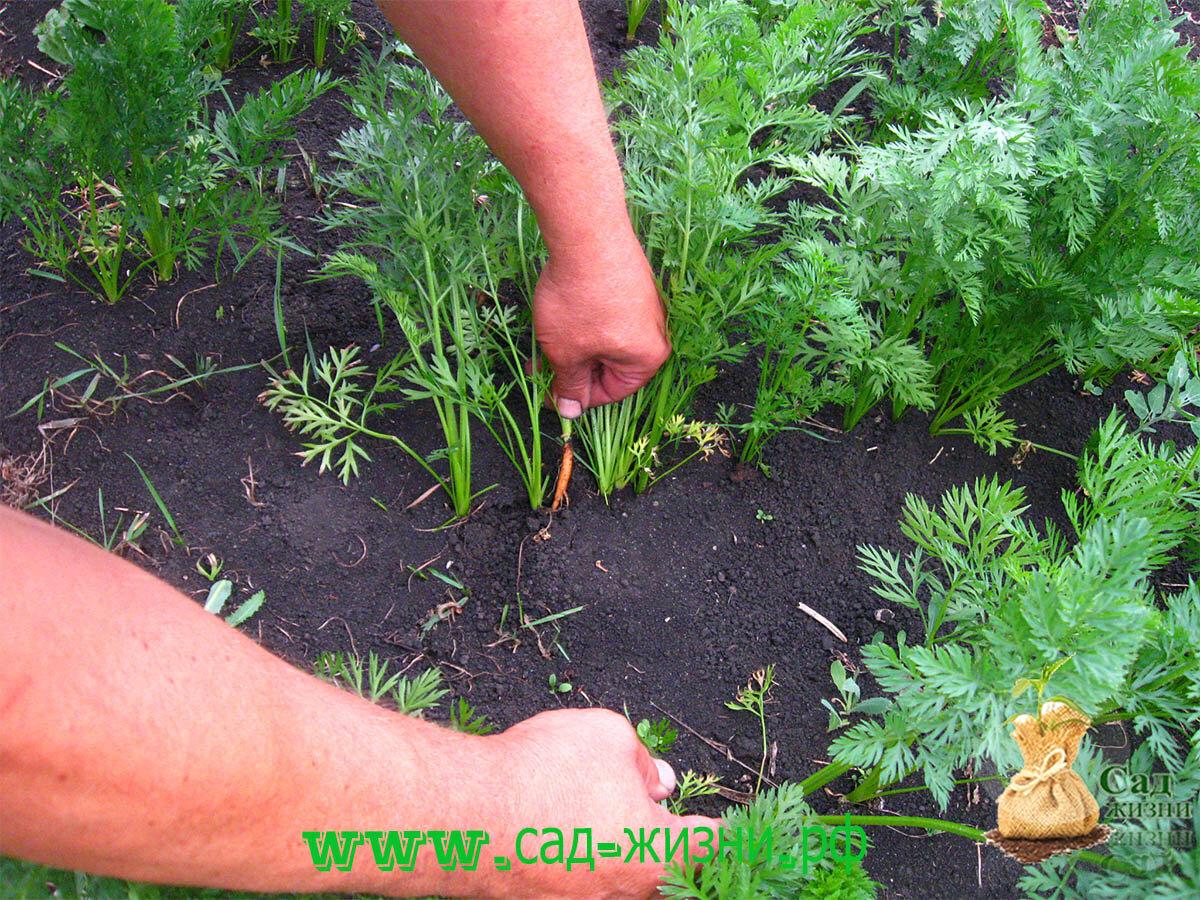 Как проредить морковь на грядке правильно: чем лучше – с помощью ножниц или по бабушкиному методу, можно ли посадить ростки в открытый грунт после такого, уход, фото русский фермер