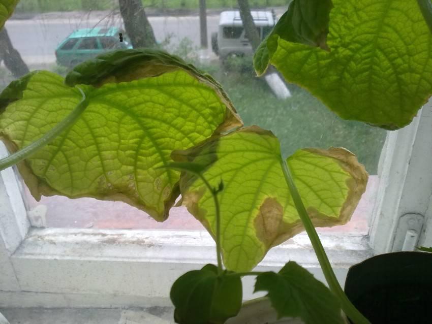Почему огурцы на балконе желтеют и сохнут плоды