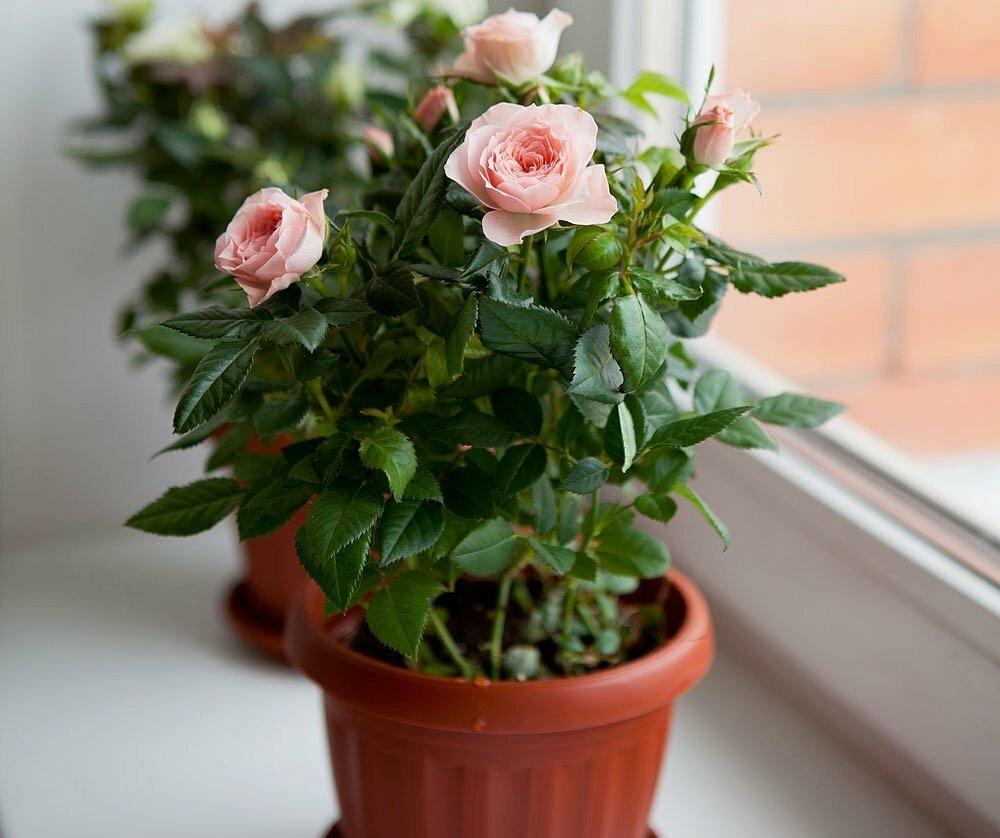 Комнатная роза: уход в домашних условиях, пересадка и размножение, фото