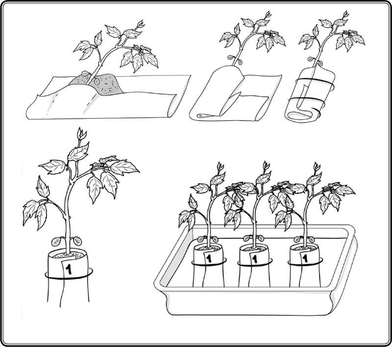 Пикировка рассады томатов в пеленке: как правильно осуществлять посадку семян и затем ухаживать за всходами, а также нюансы выращивания помидоров таким способом