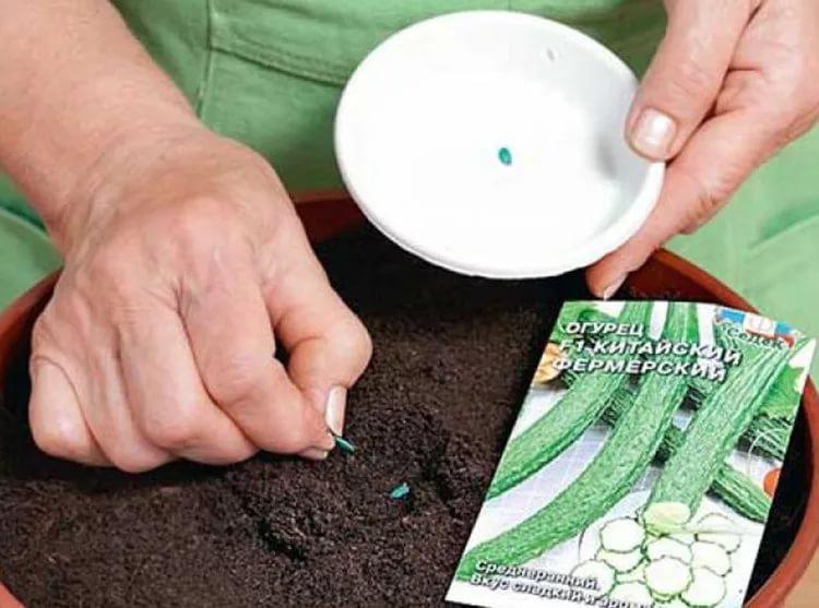 На какую глубину сажать семена огурцов: место для посадки, подготовка семян и правила полива культуры