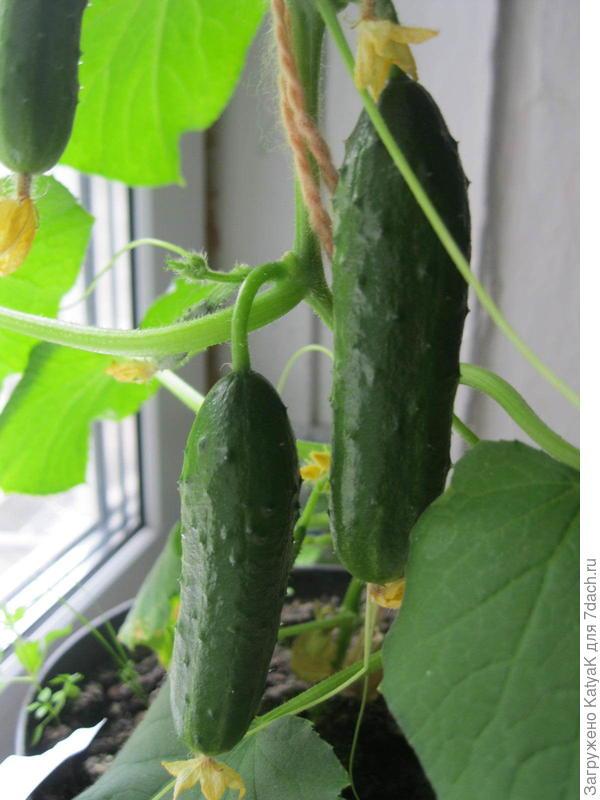 Огурец балконный f1: выращивание на окне