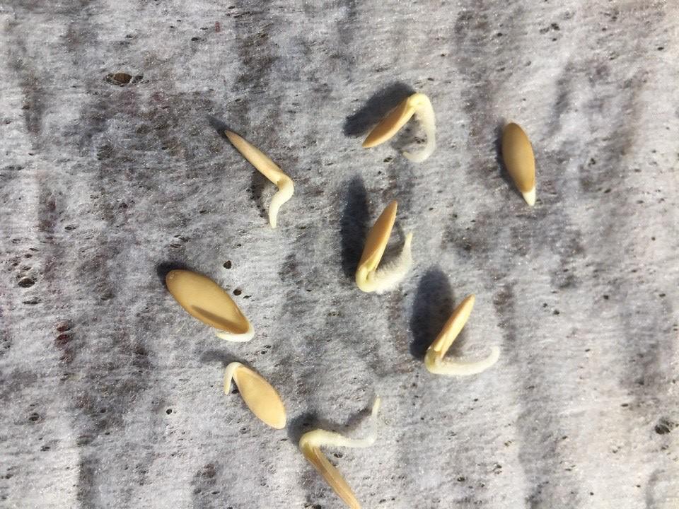 Можно ли замачивать обработанные семена огурцов перед посадкой и зачем это делать