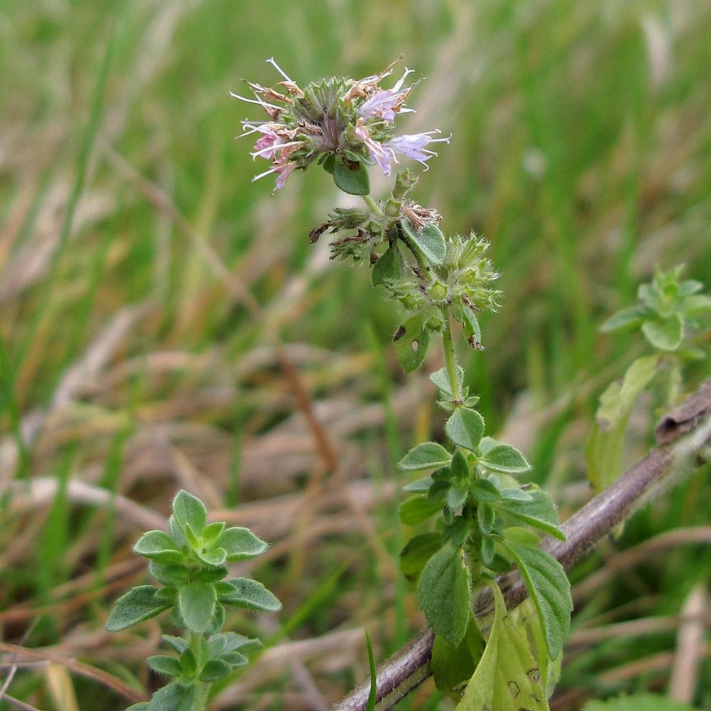 Специфика выращивания болотной мяты