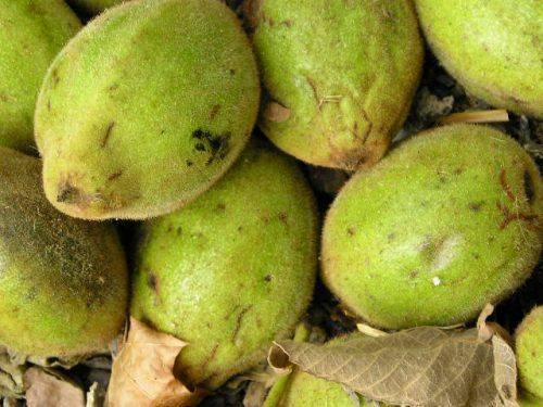 Ланкастерский орех посадка и уход описание сорта