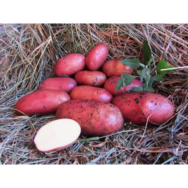 Картофель латона: характеристика и описание сорта, урожайность с фото