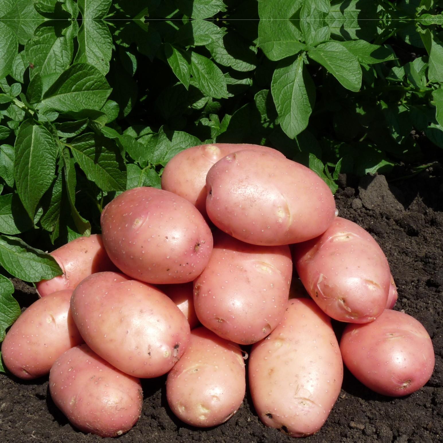 Сорт картофеля розара: описание, посадка и уход русский фермер