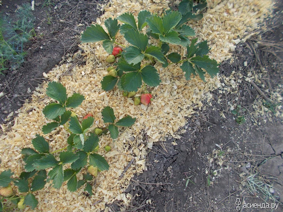 Мульчирование приствольных кругов плодовых деревьев