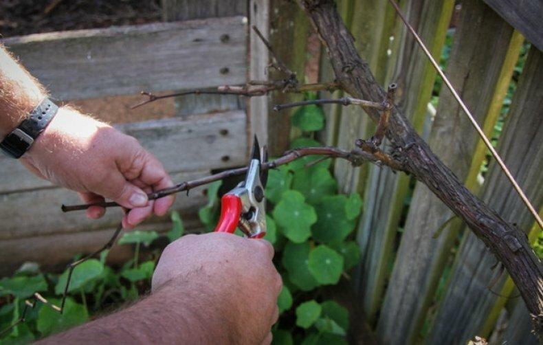 Почему виноград отказывается плодоносить и как это исправить?