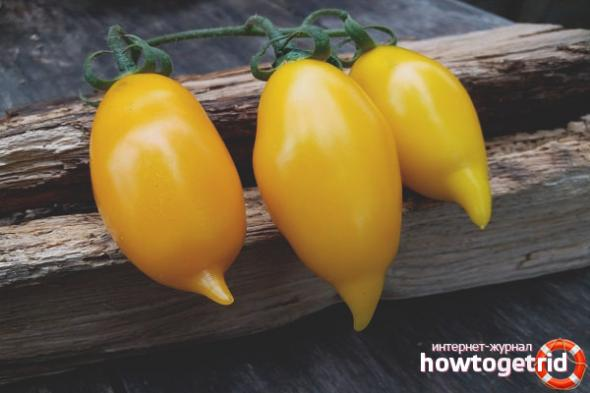 Описание сорта томата золотая канарейка и его характеристики