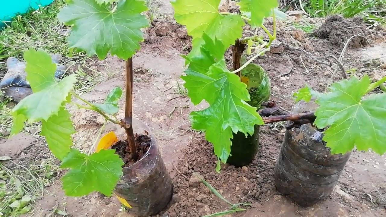 Правила пересадка винограда на другое место