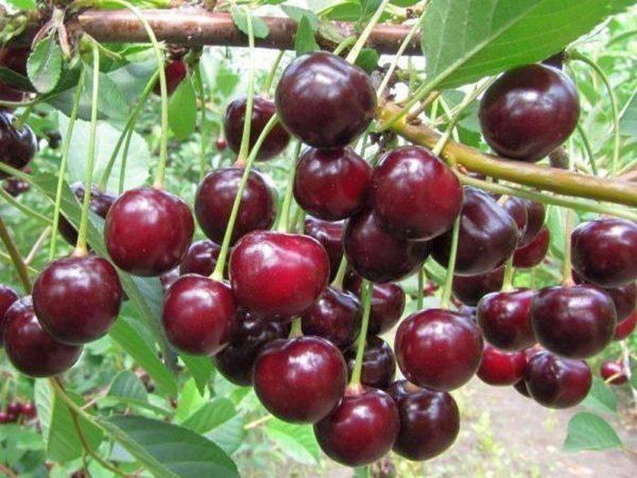 О харитоновской вишне: описание и характеристики сорта, уход и выращивание