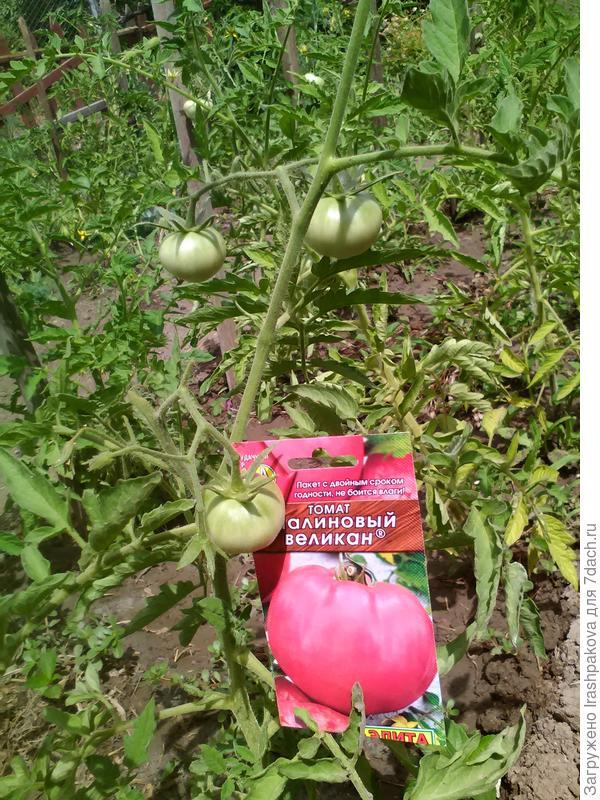 Помидоры розовый гигант (малиновый гигант): описание сорта томата, характеристика, выращивание, фото и видео