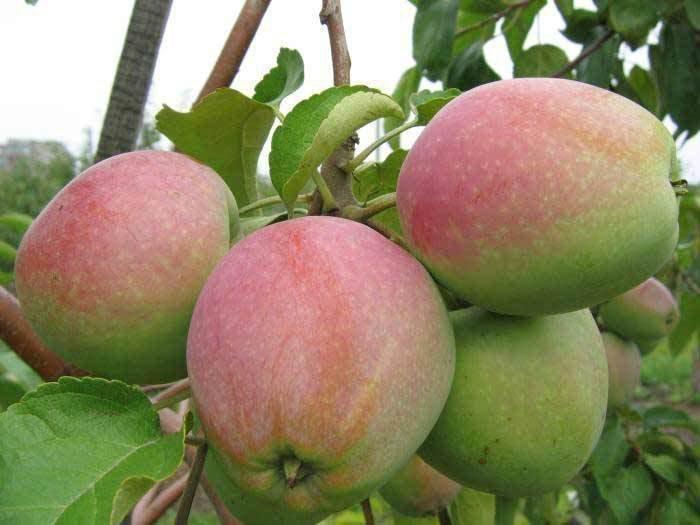 Описание сорта яблони спартан: фото яблок, важные характеристики, урожайность с дерева