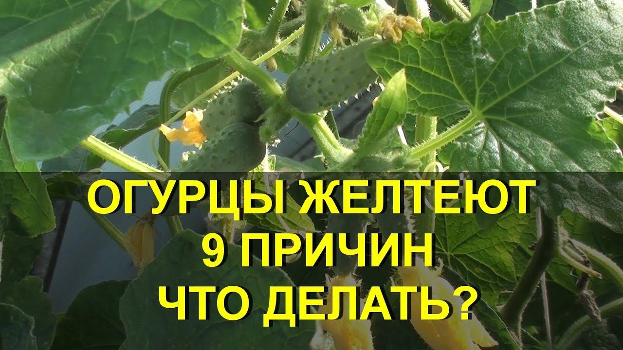 Почему желтеют огурцы в теплице и в открытом грунте, что делать как с этим бороться
