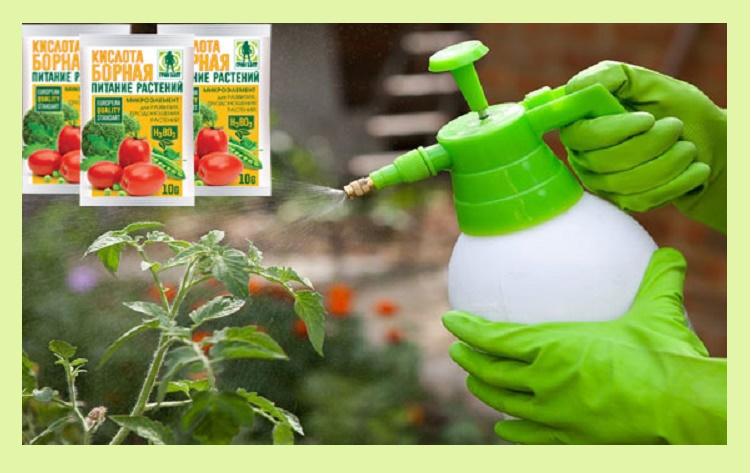 Борная кислота для томатов: применение для завязи растений, как опрыскивать и разводить