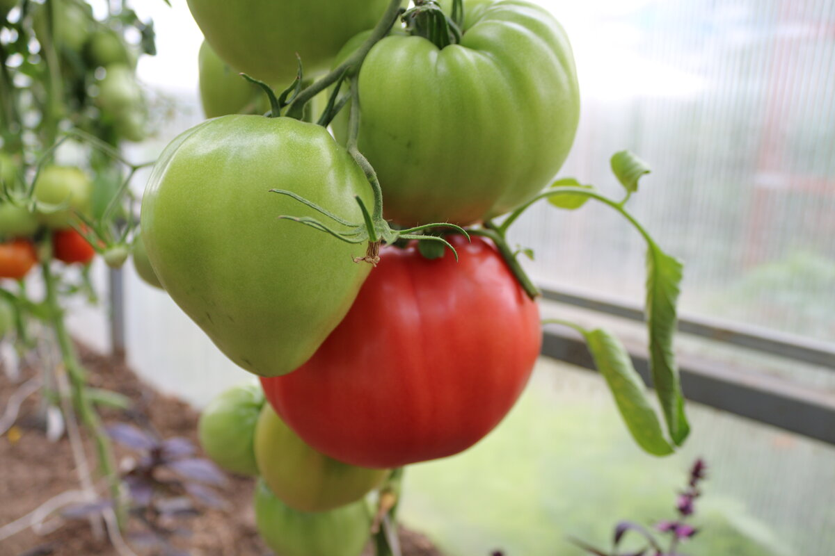 Томат микадо сибирико: отзывы, фото, урожайность   tomatland.ru