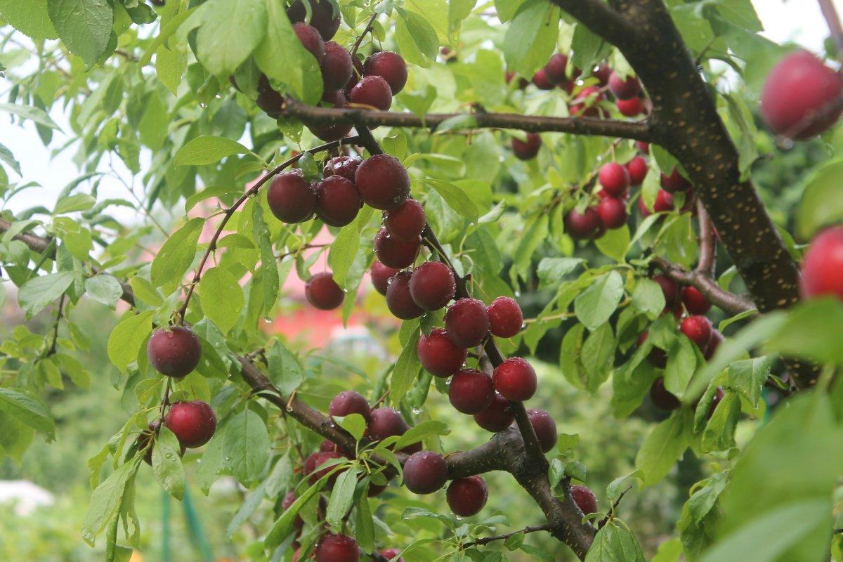 Сорта сливы для северо запада россии - сад и огород