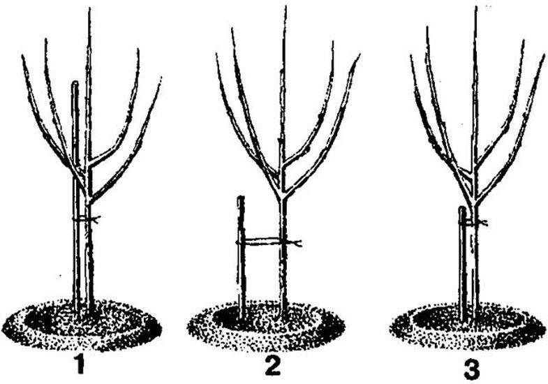 О размножении яблони из ветки и черенкованием в домашних условиях, грунте