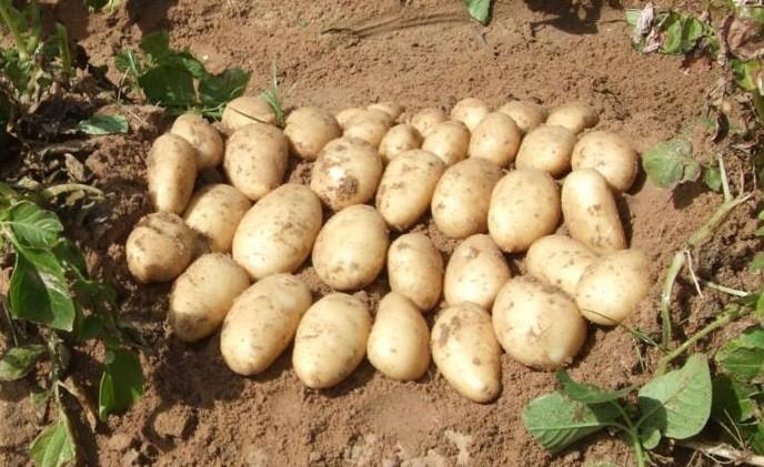 ᐉ сорт картофеля «чародей» – описание и фото - roza-zanoza.ru