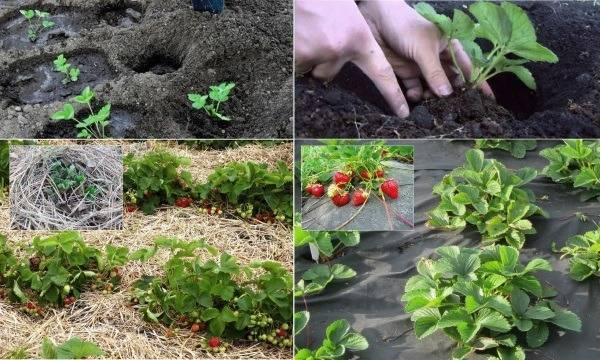 Когда пересаживать клубнику: как выбрать время и правильно подготовить грунт для пересадки растения