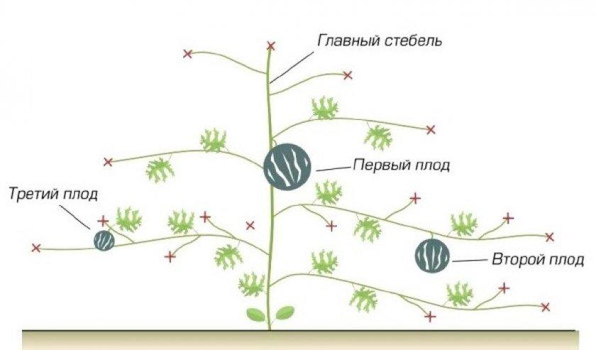 Пасынкование арбузов и дынь в открытом грунте - садоводству да