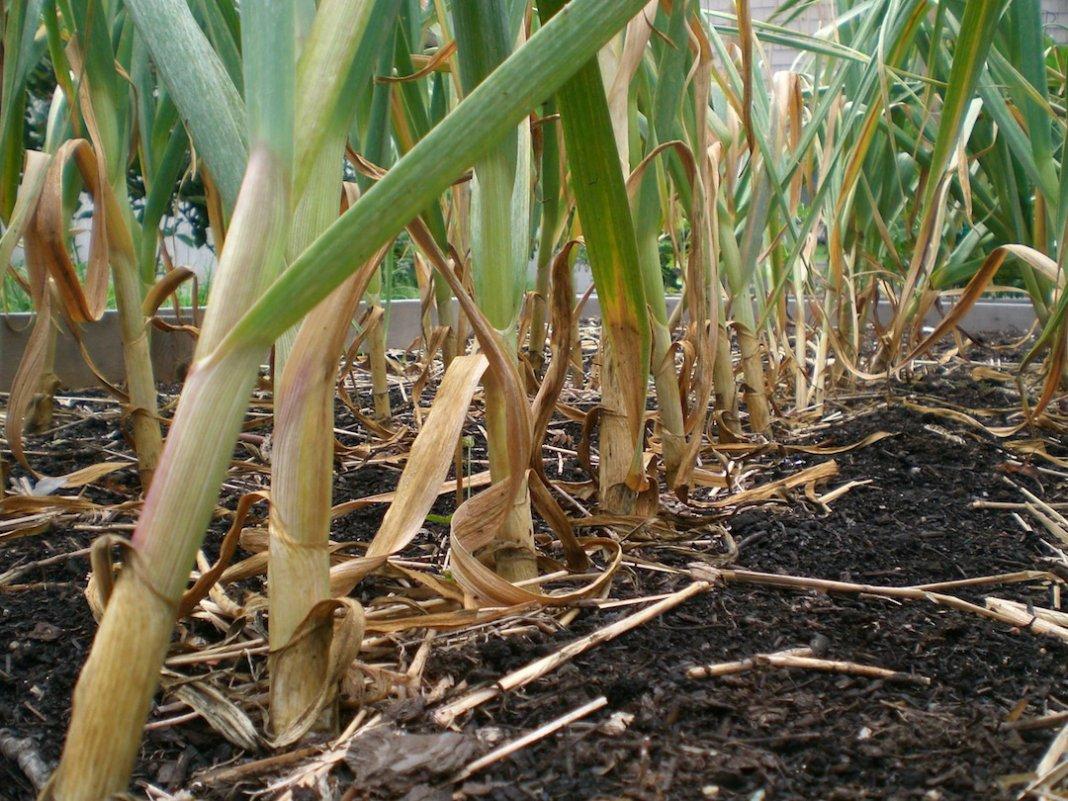 Гниёт лук на грядке — что делать, чем обработать растения