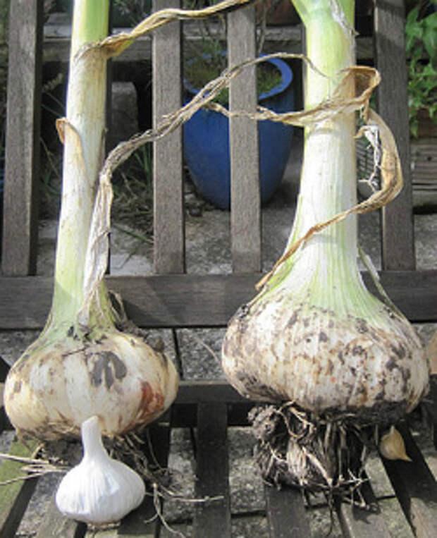 Рокамболь — как выращивать слоновый чеснок? как отличить. выращивание, уход и сбор урожая. фото — ботаничка.ru