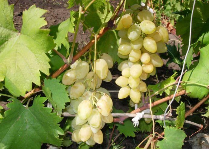 Описание 30 сортов и видов винограда Мускат, посадка, выращивание и уход