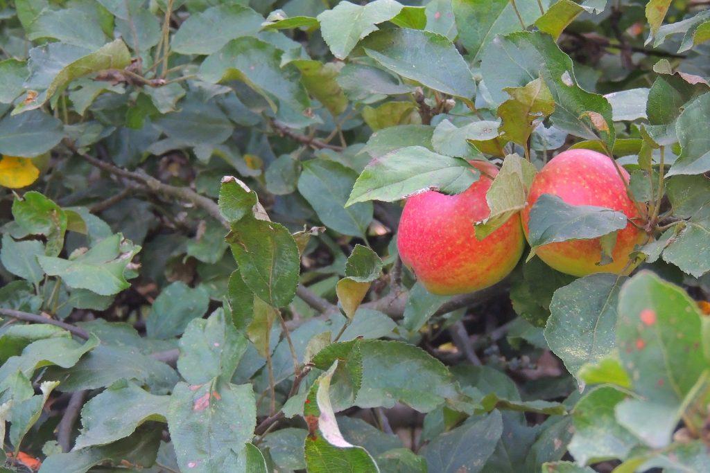 Яблоня анис алый: описание сорта и фото selo.guru — интернет портал о сельском хозяйстве