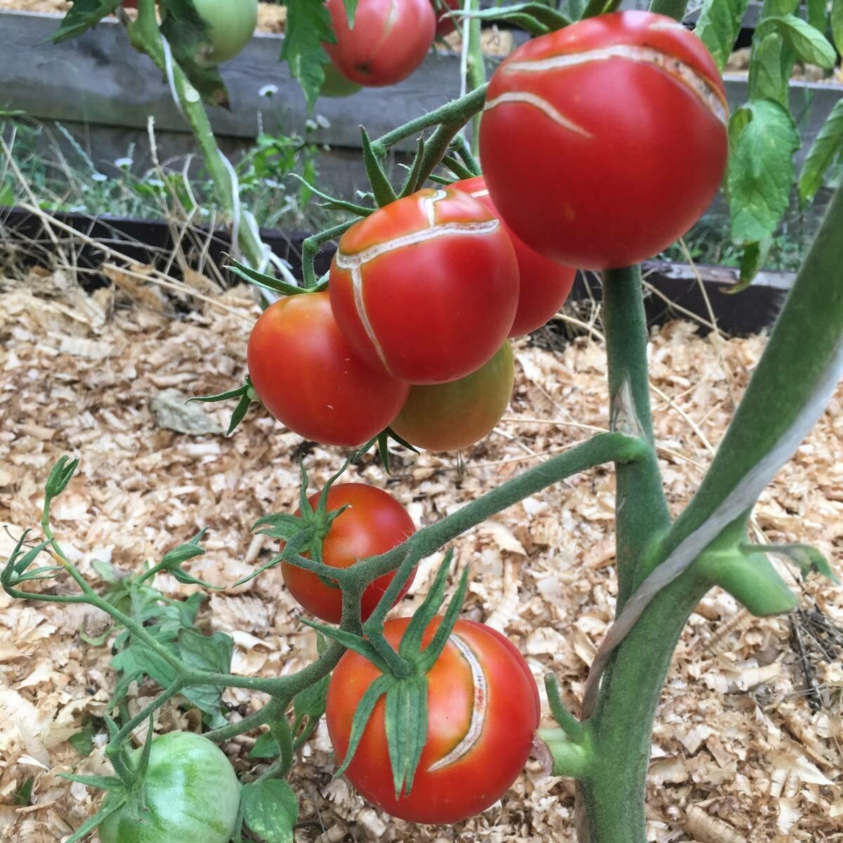 Узнайте за 5 минут от чего трескаются помидоры в теплице
