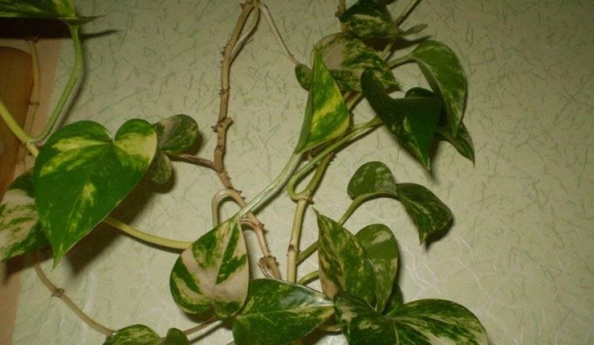 Растение эпипремнум золотистый: правила выращивания и ухода