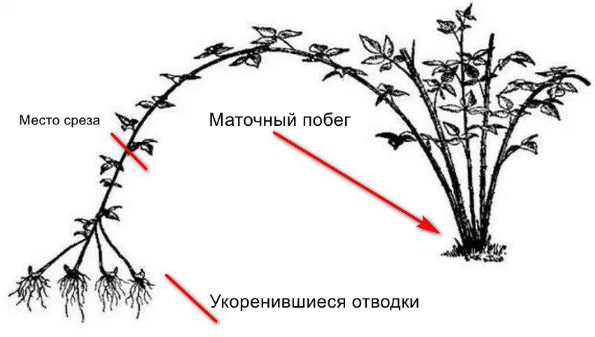 Правила посадки и ухода за ежевикой в открытом грунте: особенности выращивания, сорта, видео инструкция