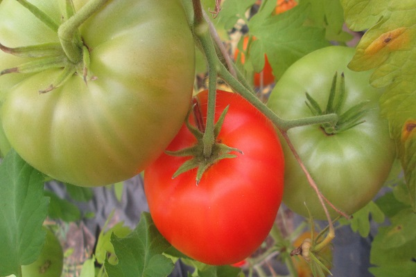 Томат катя f1: отзывы, фото, урожайность, описание и характеристика | tomatland.ru