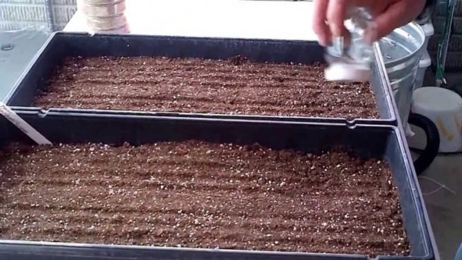 Семена малины - пошаговая инструкция как вырастить в домашних условиях малину из семян