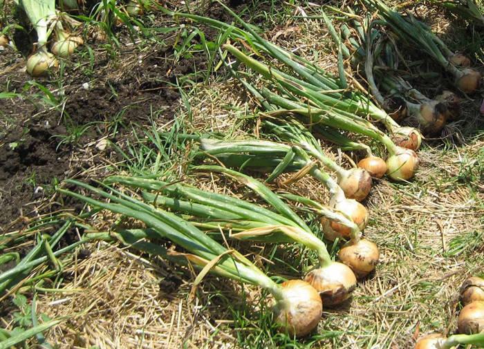 Выращивание лука-чернушки из семян: когда сажать весной в открытый грунт, нужна ли подготовка, сколько дней всходит после посева, как сеять на рассаду и в улитку?