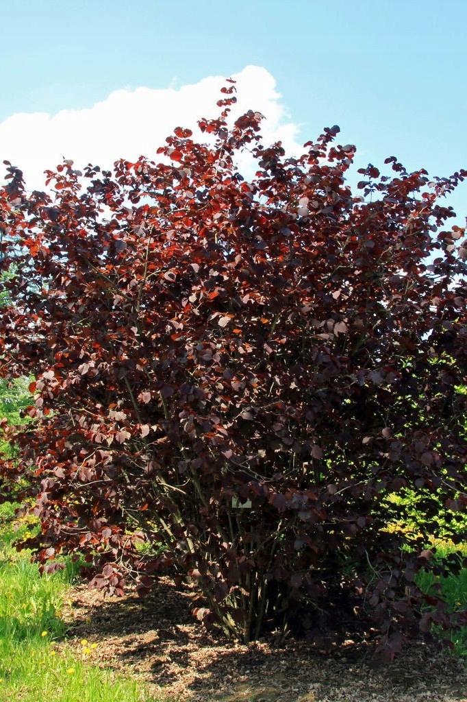 Лещина краснолистная: посадка и уход в саду, использование в ландшафте | огородники