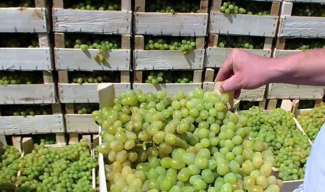 Виноград атос: описание и характеристики сорта, особенности выращивания и ухода