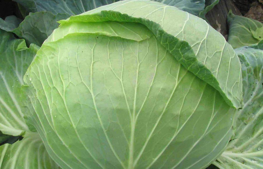 Описание сорта капусты амагер, характеристика и выращивание