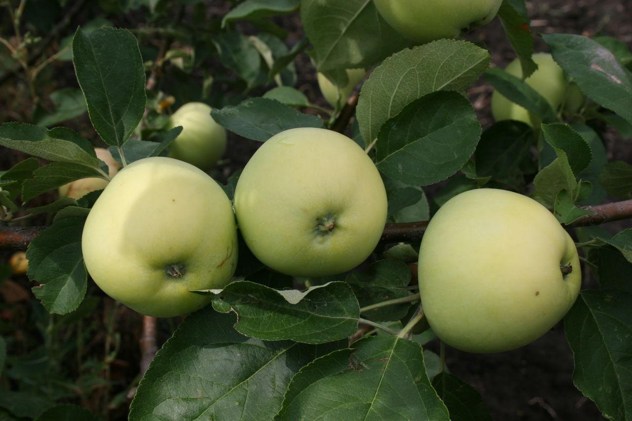Описание сорта колоновидной яблони президент: фото яблок, важные характеристики, урожайность с дерева