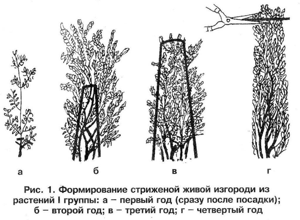 Живая изгородь своими руками: пошаговая инструкция, видео, как правильно посадить и вырастить зеленый забор