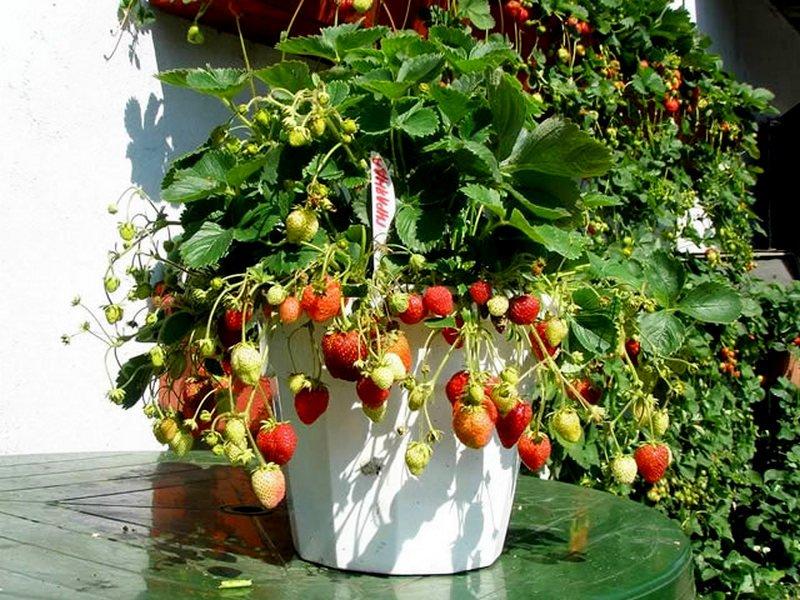 Клубника гирлянда: описание урожайного ягодного сорта, отзывы и фото