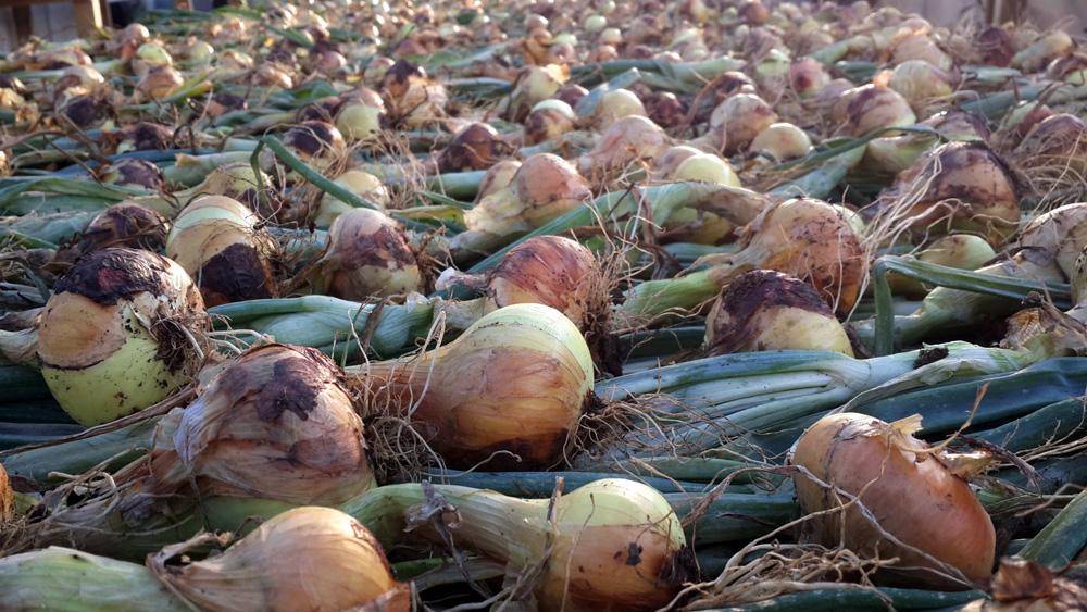 Когда убирать с грядки на хранение лук, посаженный под зиму: сроки и правила уборки, особенности хранения урожая, осенняя посадка