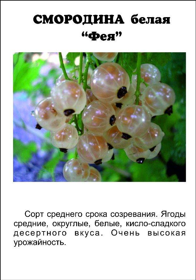Белая смородина: лучшие 15 сортов для подмосковья с крупными ягодами - смольяниновская, беляна, ютерборгская, потапенко, булонь - голландская урожайная
