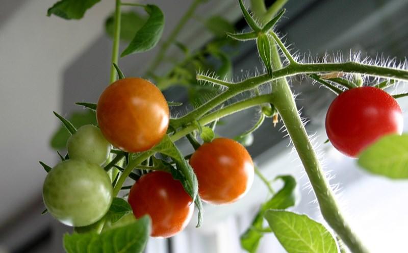 Как вырастить помидоры в квартире на подоконнике или балконе: правила посева и ухода, лучшие сорта