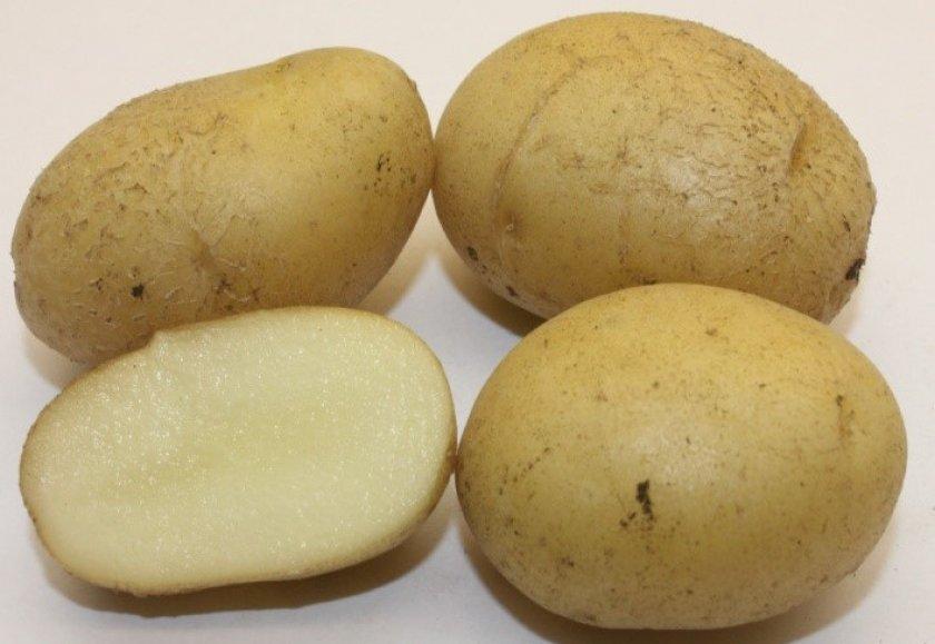 Картофель голубизна - описание сорта, фото, отзывы